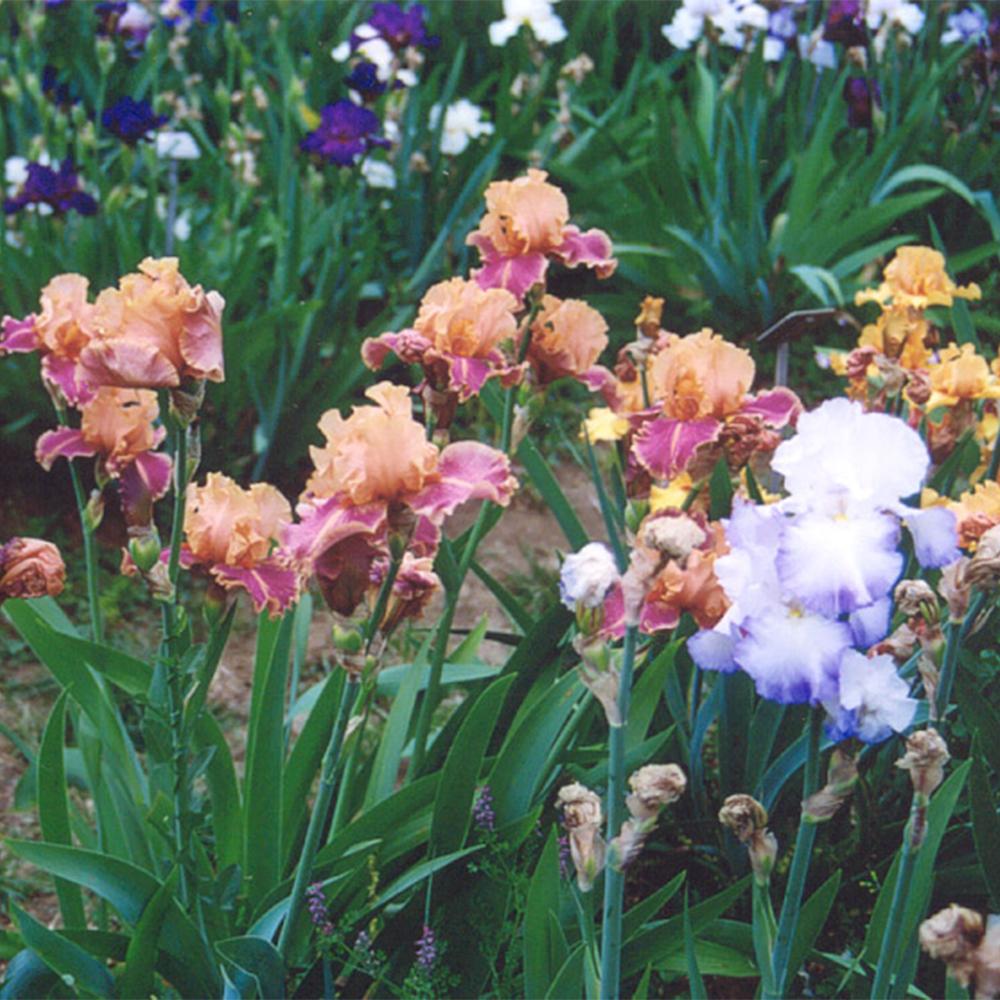 Giardini a primavera il giardino dell iris e il giardino - Giardino dell iris firenze ...